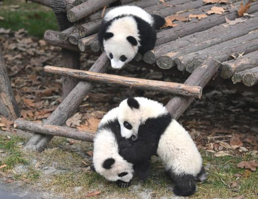 Baby Pandas Make Their Debut