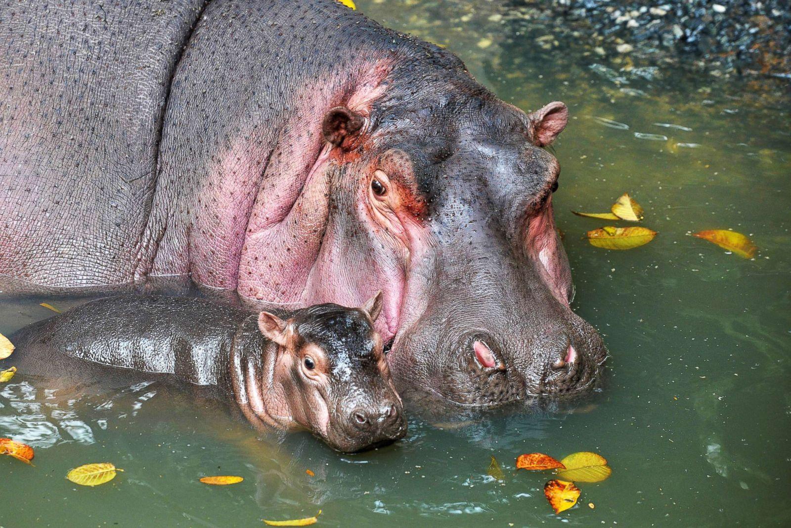 Cutest Baby Animals From Around The World Photos Abc News Hippo Nero 3