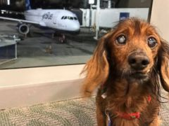 18 year old rescued dachshund living out bucket list adventure abc
