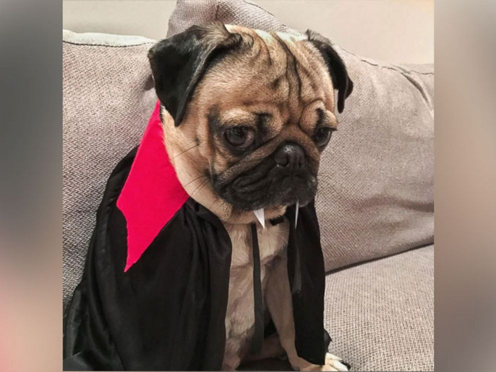 photo doug the pug is an instagram star he appeared on gma on halloween - Pugs Halloween Costumes