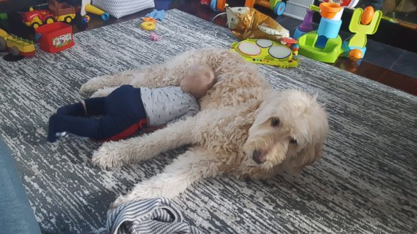 PHOTO: Little 11-month-old Oliver Whitlow and his fluffy, patient Goldendoodle Leo are best friends.