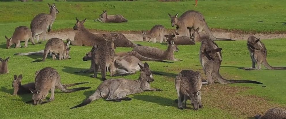 PHOTO: Greg Tannos his day on the golf course got a lot more interesting when a mob of eastern grey kangaroos decided to pay Sanctuary Point Country Club a visit on April 6.