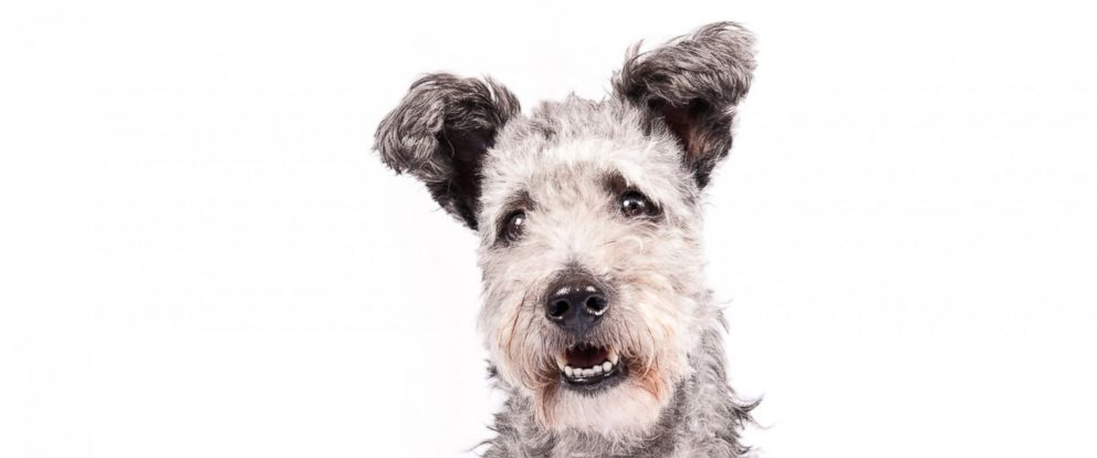 PHOTO:The new Westminster Kennel Club dog show eligible breed the Pumi.