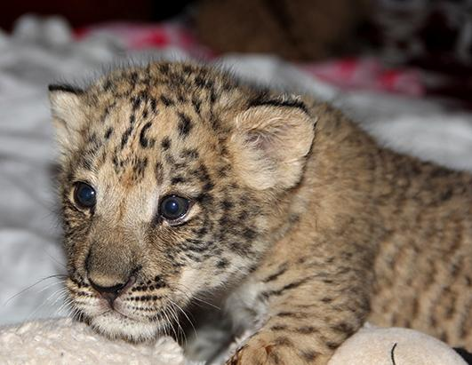 Meet the First Liliger Cub in the US!