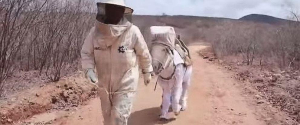 PHOTO: Boneco the beekeeping donkey helps his owner, Manuel Juraci of Brazil, harvest honey.