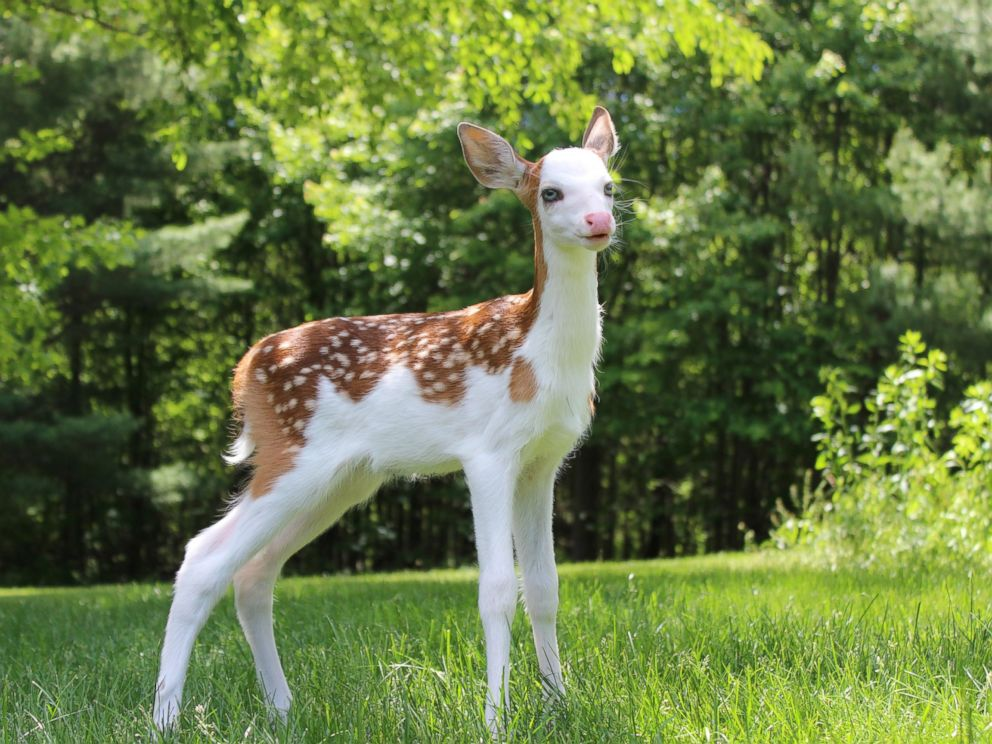 Rare deer spotted: White Faced Deer