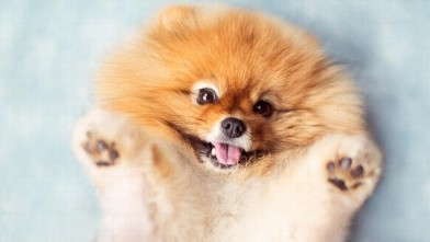 An Adorable Pomeranian That Will Melt Your Heart