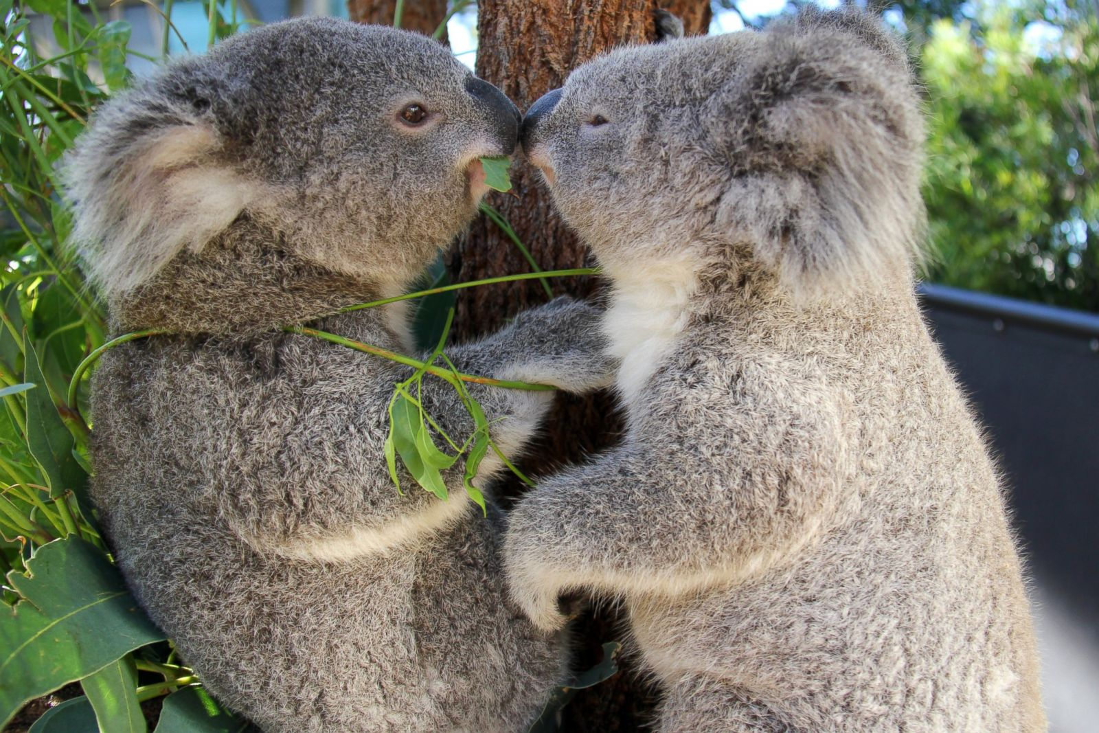 two cuddly koalas get cozy picture amazing animals from around the world abc news. Black Bedroom Furniture Sets. Home Design Ideas