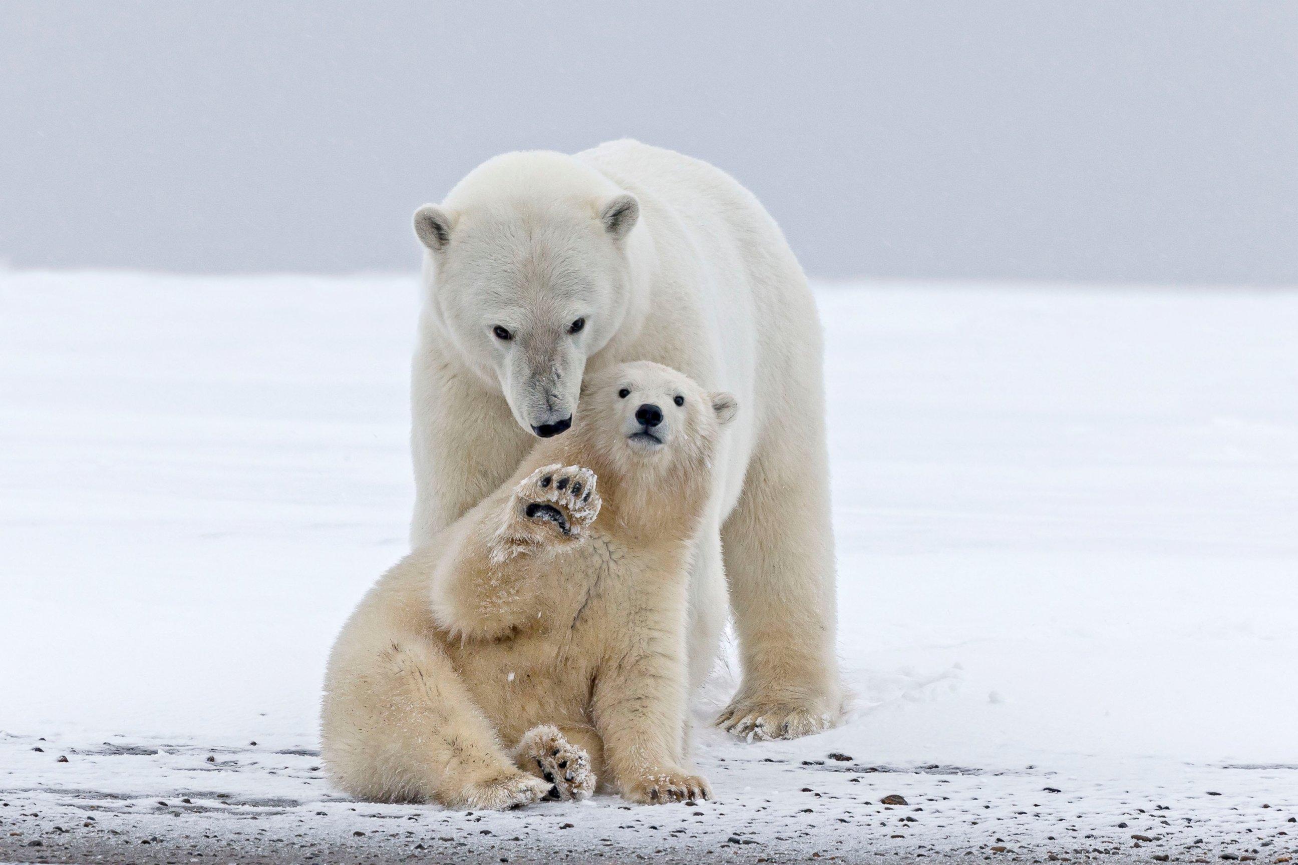 Playful Polar Bear Chills with Mom