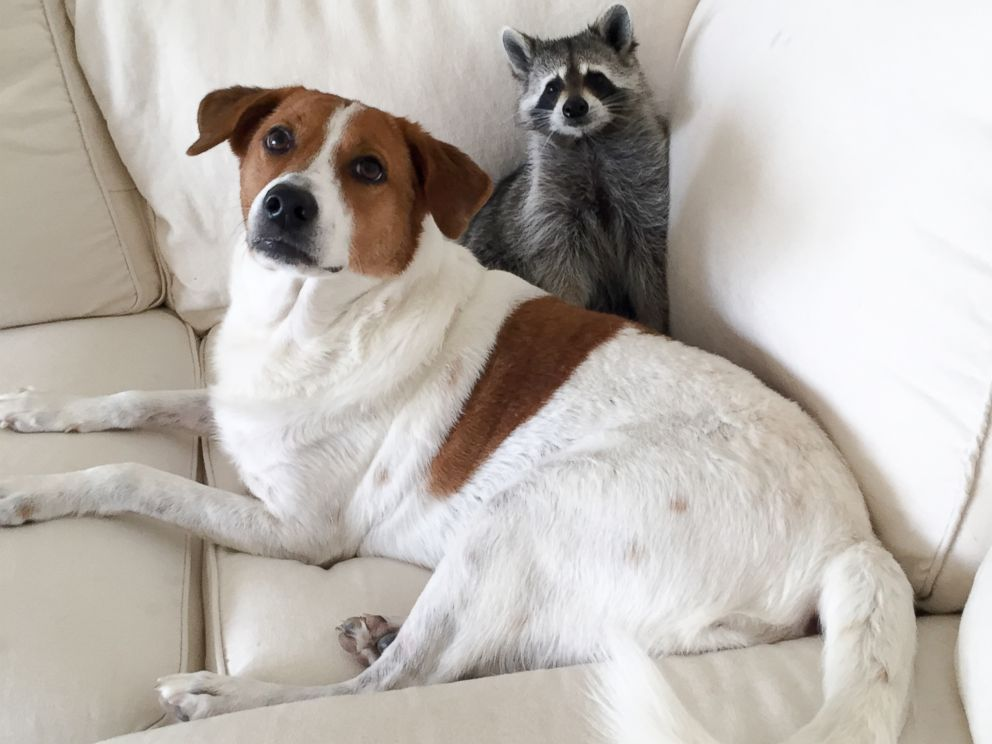 Pumpkin The Pet Raccoon Lives The Life Of Luxury In New Book ABC - Pumpkin rescued raccoon
