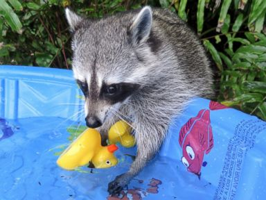 PHOTO: Pumpkin the Racoon lives in the Bahamas and thinks shes one of her owners dogs.