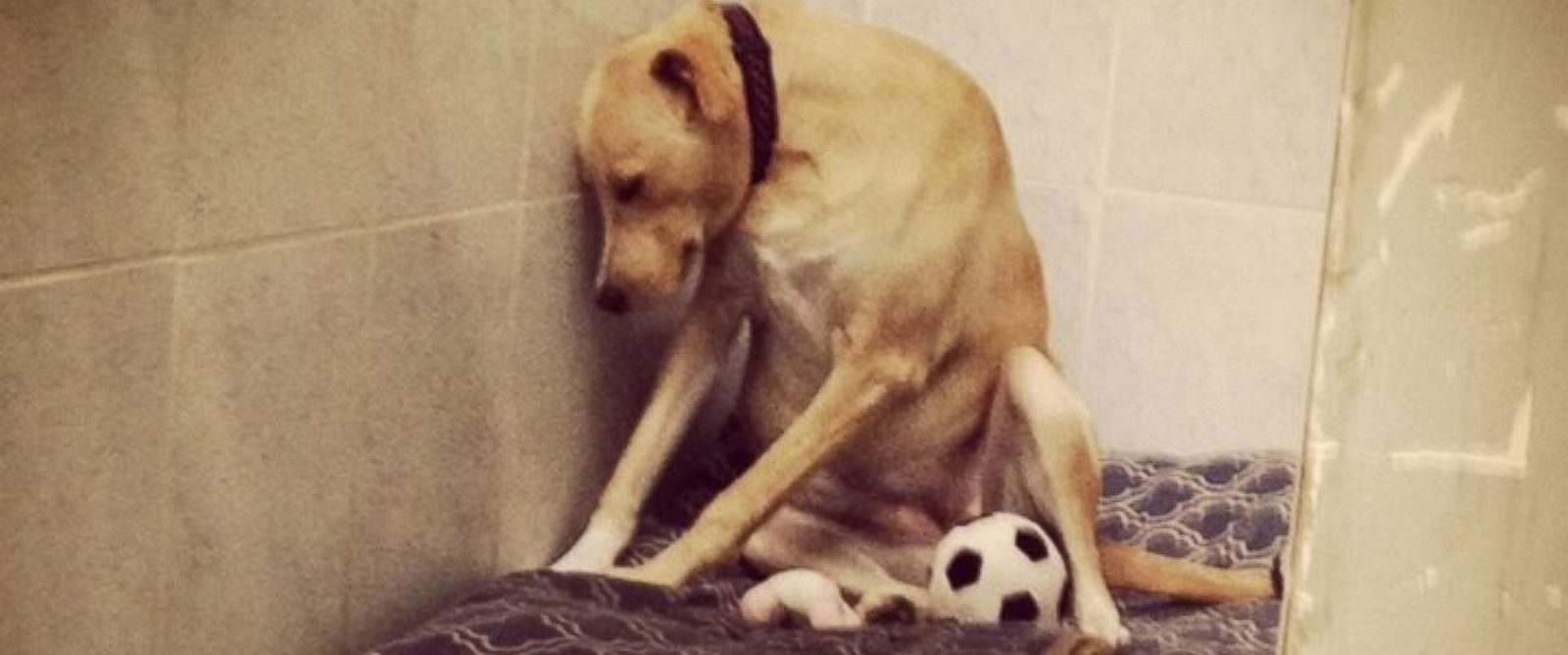 """PHOTO: After a Facebook photo of """"The Saddest Dog in the World"""" went viral, Lana the dog was placed in a temporary foster home and received over 2,000 adoption applications."""