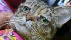 PHOTO: Tucker, the cat whose medical problems lead to a perpetually droopy face, has been adopted.