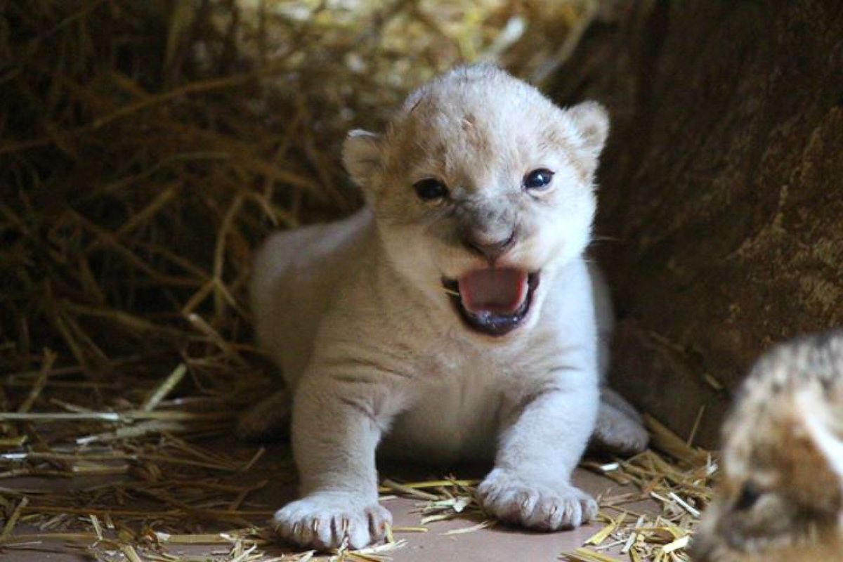 See This Rare Baby White Lion Roar