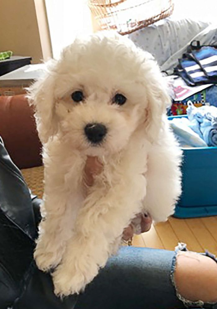 PHOTO: The family got Lumo the puppy from breeder Fern Flett with Bichon Lovers in Ontario.