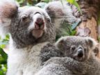 Koala baby clings to its mother