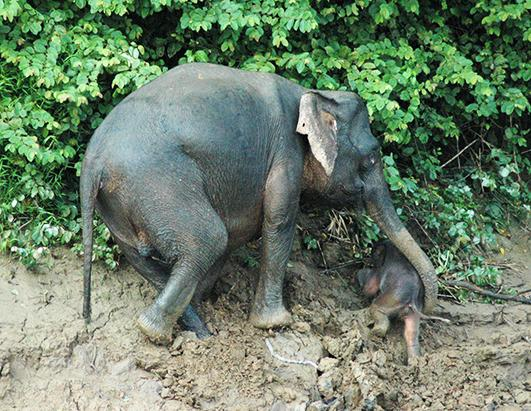 Baby Elephant Gets Help From Mom