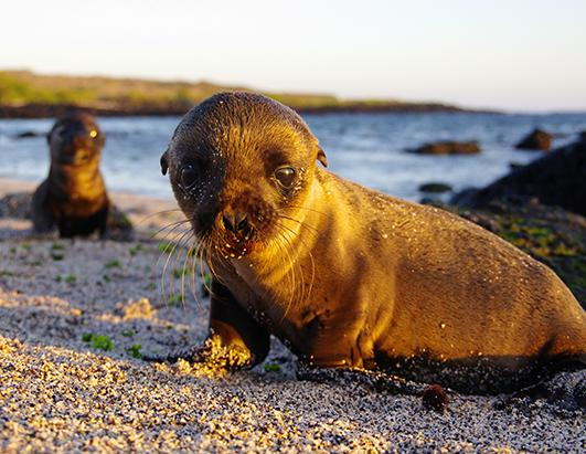 Sea Lions and Pups Roll Around in the Sand