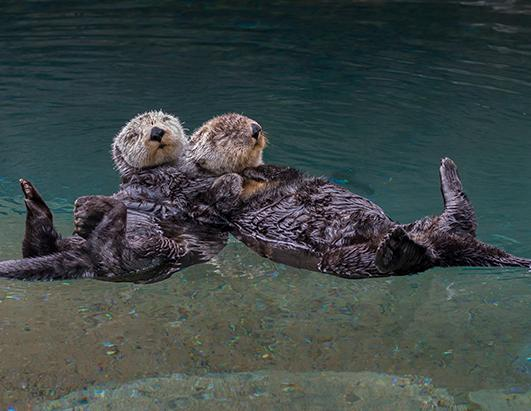 Super Cute Sleeping Otters