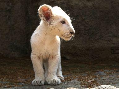 A lion cub strikes a pose