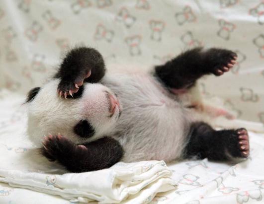 Bashful Baby Panda