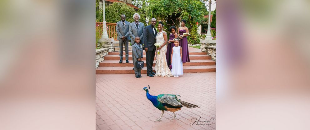 PHOTO: A peacock photobombed the wedding party photo of Tamatha and Emile Conways Aug. 25, 2017 wedding, held at Meyers Castle in Dyer, Indiana.