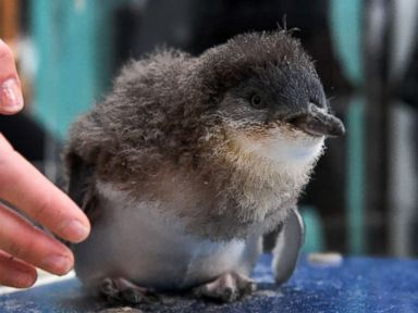 Meet Nippet the fairy penguin