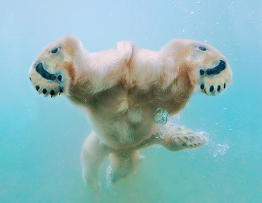 Ballet Swimming Polar Bears