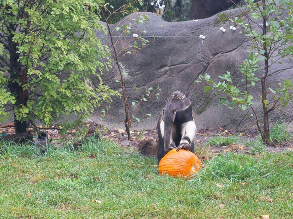 PHOTO: An anteater enjoys Halloween seasonal treats at the Detroit Zoo on Oct. 11, 2017.