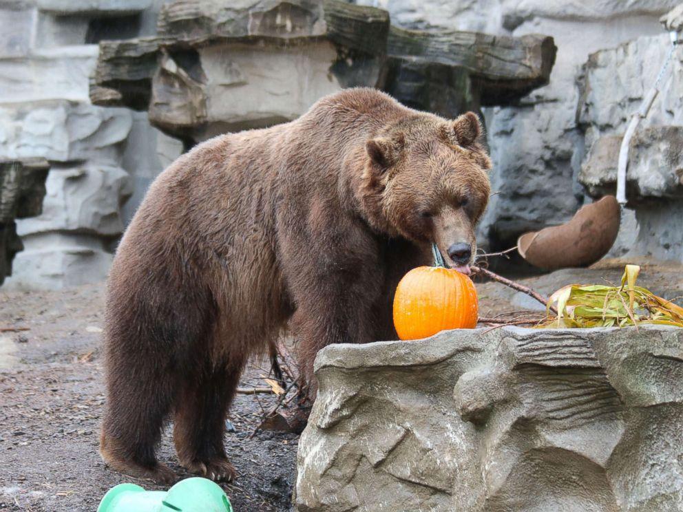 PHOTO: A grizzly bear enjoys Halloween seasonal treats at the Detroit Zoo on Oct. 11, 2017.