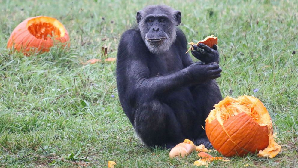 Zoo animals get in the Halloween spirit by smashing pumpkins, gourds