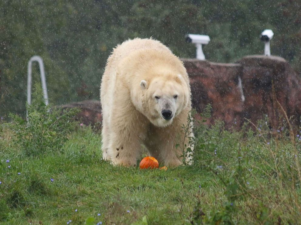 PHOTO: A Polar Bear enjoys Halloween seasonal treats at the Detroit Zoo on Oct. 11, 2017.