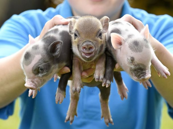 Photos:  These Little Piggies Went to the Market
