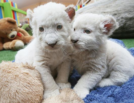 White Lion Cubs Debut