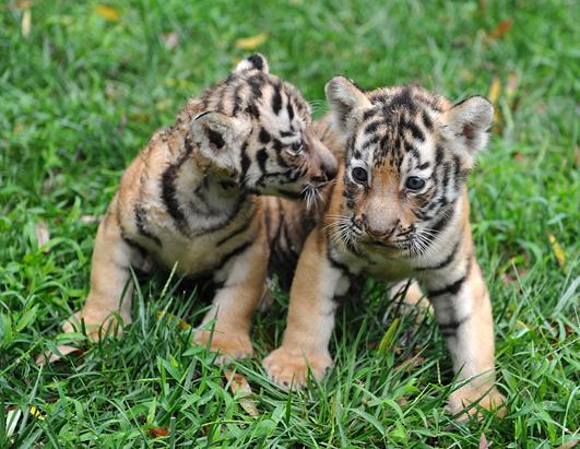 PHOTOS: Twin Tiger Cubs