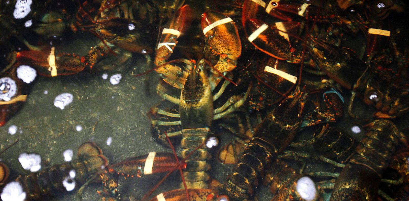 "PHOTO: Live lobsters swim in a holding tank inside ""Redhook Lobster Pound"" in New York."