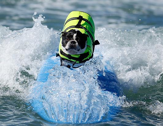 Wet n' Wild Canines: Surf City Surf Dog Competition