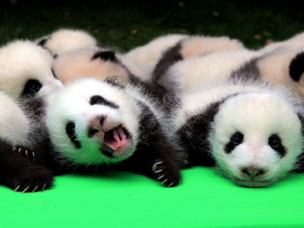 Of baby pandas pictures