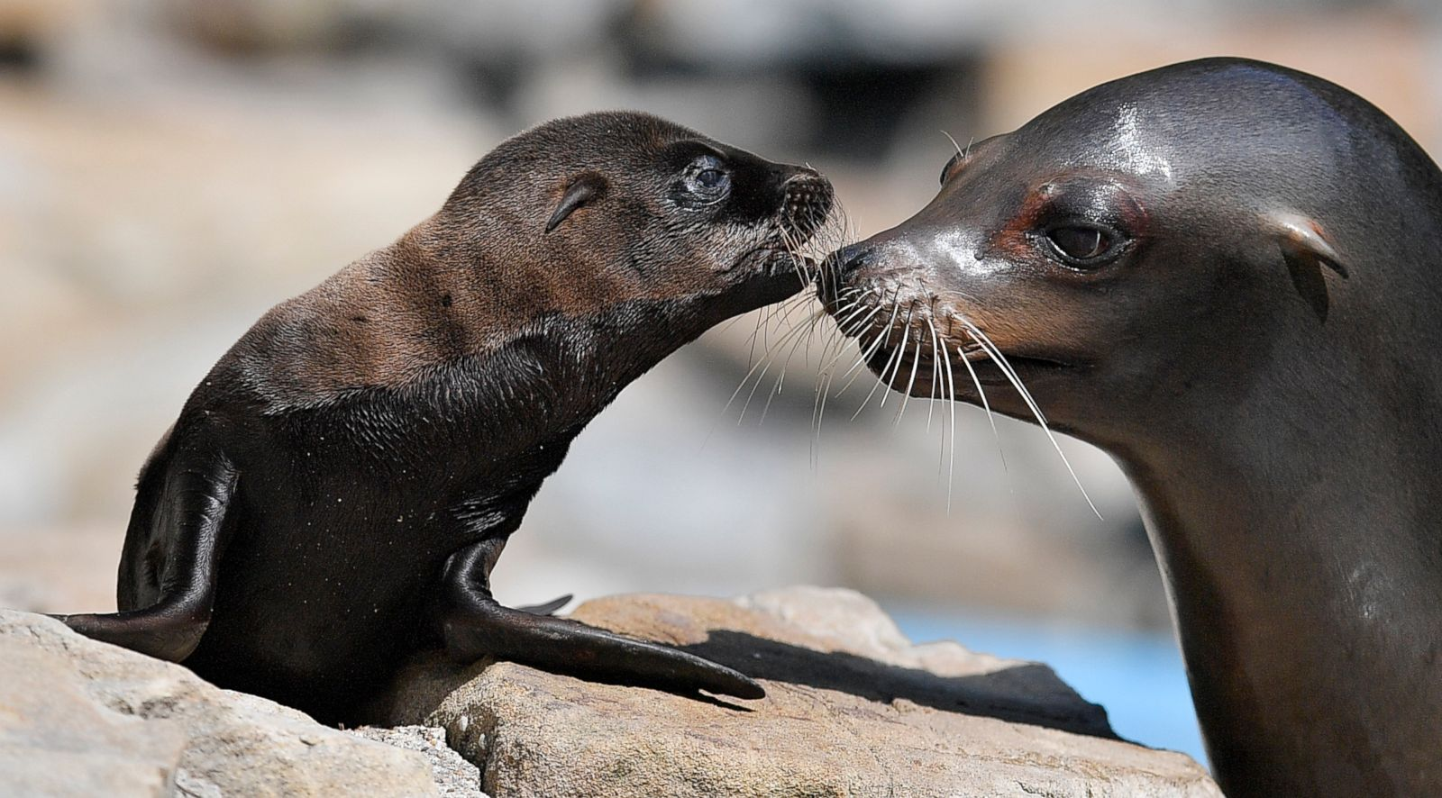 sea lion and its mother kiss each other picture cutest