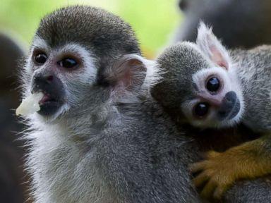 Squirrel monkeys cool off