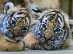 PHOTO: Endangered Malayan cubs make their debut