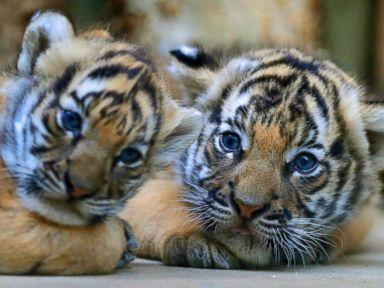 PHOTO: Endangered Malayan cubs make their debut