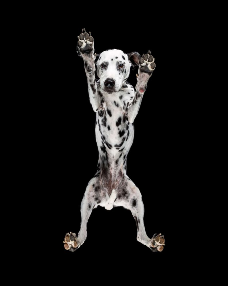 A dalmatian is captured in this photo from the series.
