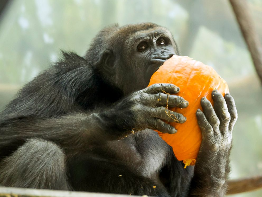 PHOTO: A western lowland gorilla bit into a pumpkin at the Lincoln Park Zoo in Chicago.