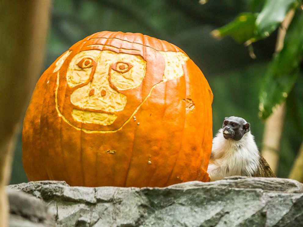 PHOTO: A pied tamarin posed next to a carved pumpkin at the Lincoln Park Zoo in Chicago.