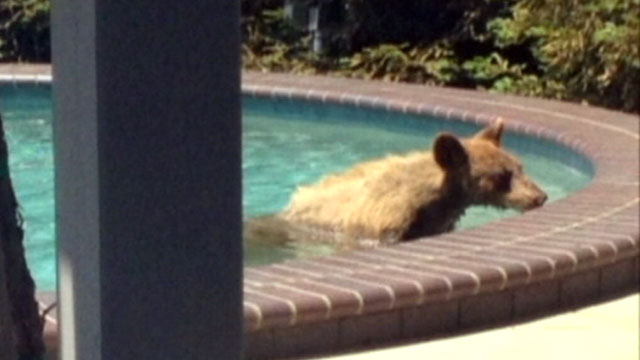 PHOTO: A bear cub took a dip in a backyard pool in Monrovia, Calif.
