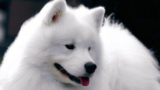 PHOTO: Cruz, a prizewinning Samoyed, competed at this year's Westminster Kennel Club Dog Show.
