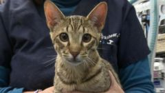 VIDEO: Hypoallergenic Cats: Real Deal or Just Hype?
