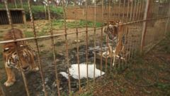 Lions, Tigers, Hippos and Other Colombian Drug Lord Pets