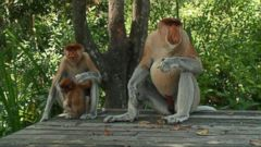 Proboscis Monkeys, Natures Swingers